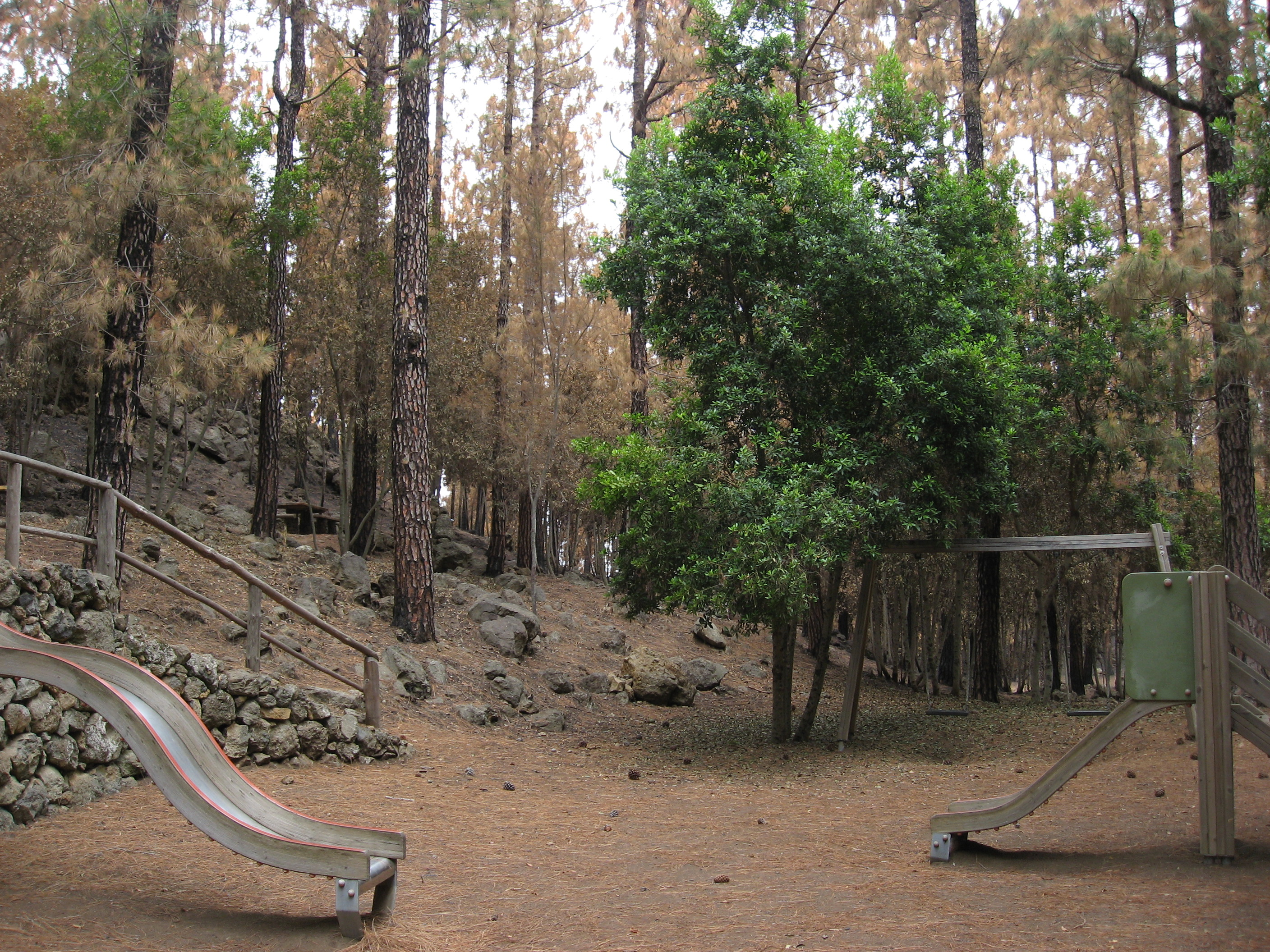 A live faya specimen in one of the zones devastated by the huge forest fire in Tenerife in 2007. Fayas are being planted in recreational areas to act as a green firewall.